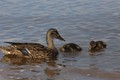 Mother Mallard Teaching Ducklings