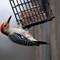 Woodpecker_0726