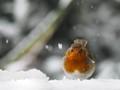 Squat Robin