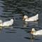 white ducks 39 11-5-14 (1 of 1)