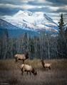 Elk family, Yukon Territory