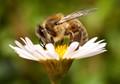 feeding honey bee