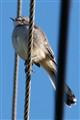 Mockin'bird on a Wire