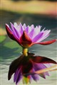 waterlily. 059