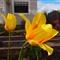 Portland Tulip  003
