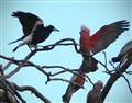 Galah meets magpie