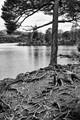Tree at Derwent Water