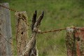 Casualty of Barbed Wire