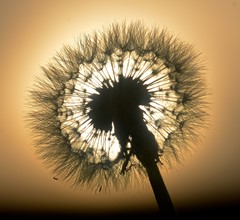 Sunlight through dandelion