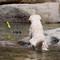 Wawona dog fetching