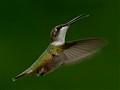Juvenile female ruby throated hummingbird
