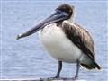 Pelican  Predicament