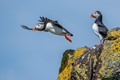 Puffin taking off from a cliff face on the Isle of May
