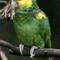 Yellow Headed Amazon:
