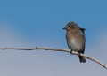 First Mountain Bluebird of Season (female) from about 100 feet.