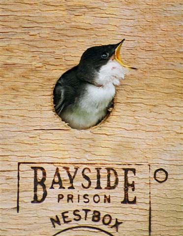 jailbird copy