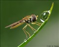Hoverfly and water drop