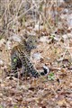 Leopard Cub on the move