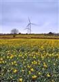 windmill daffodils
