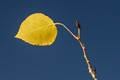 one aspen leaf against blue Colorado sky