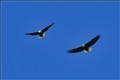 Eagle Pair