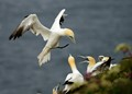 G is for Gannets