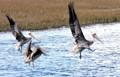 Brown Pelican - The State Bird of Louisiana