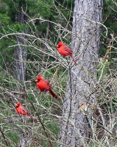 3 Cardinals