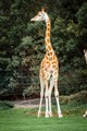 pointing giraffe