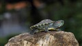 Baby Turtle II