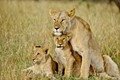 Lioness caring for her cubs - Masai Mara Kenya (just south of the Equator).
