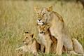 Lion&cubs