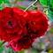 Roses_DSC0051-2