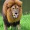 Lion African Wildlife   David Mohseni: 255_815_8461