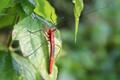 Scarlet Assassin Beetle