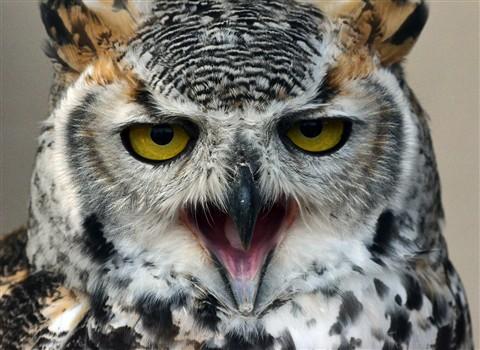 Squawking Owl