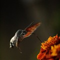 Meet the Hummingbird Moth