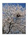 Tall Cherry Blossom Tree