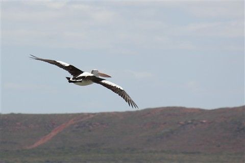 Pelican over the Murchison River