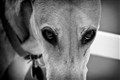 The gaze of a sight-hound.