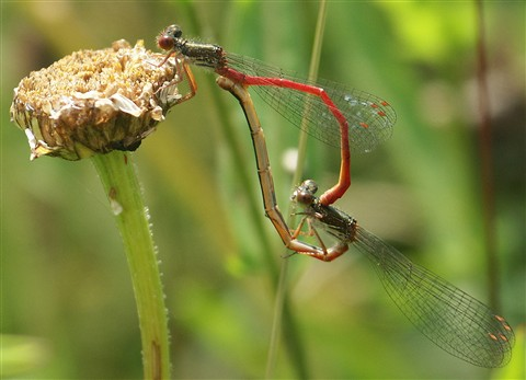Small red damselfly pair