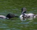 Feeding baby loon