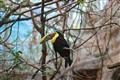 Chestnut-mandibled toucan