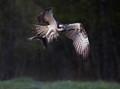 Osprey Away