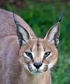 Caracal (Lynx)