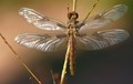 Sunning Dragonfly
