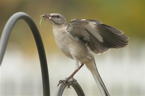 Southern Mockingbird on my bird feeder