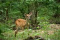 Deer at Radnor Lake