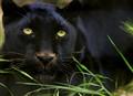 "Melanistic Leopard (aka  ""Black Panther"") Panthera pardus"