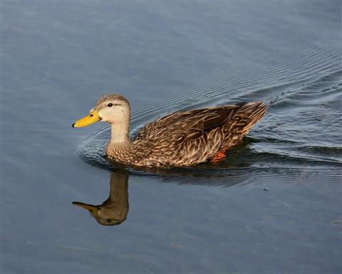Duck1280_IMG_3114